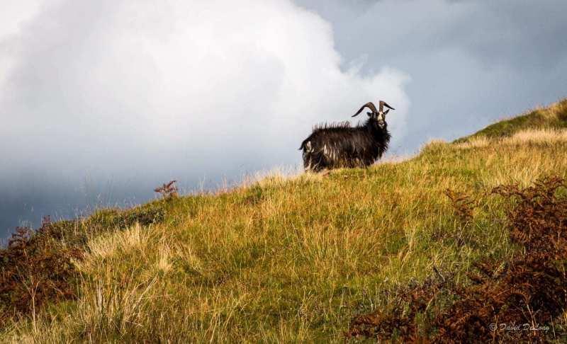 Feral-goat-island-of-Kerrera-scaled