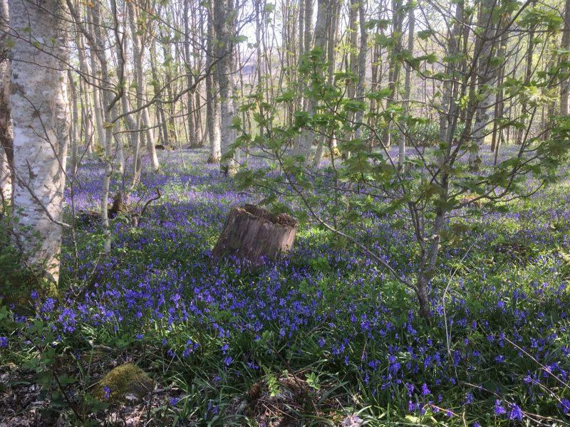 Kilmartin-Glen-Argyll-bluebells-scaled