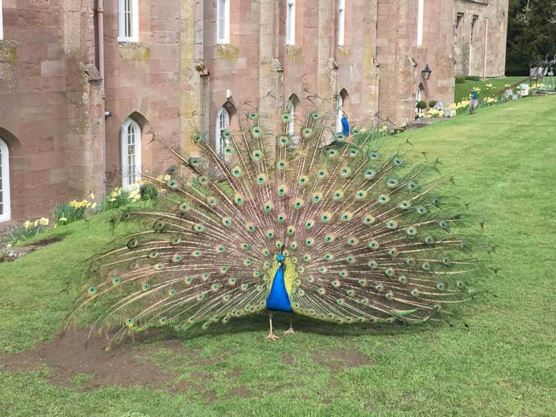 Scone-Palace-Peacock