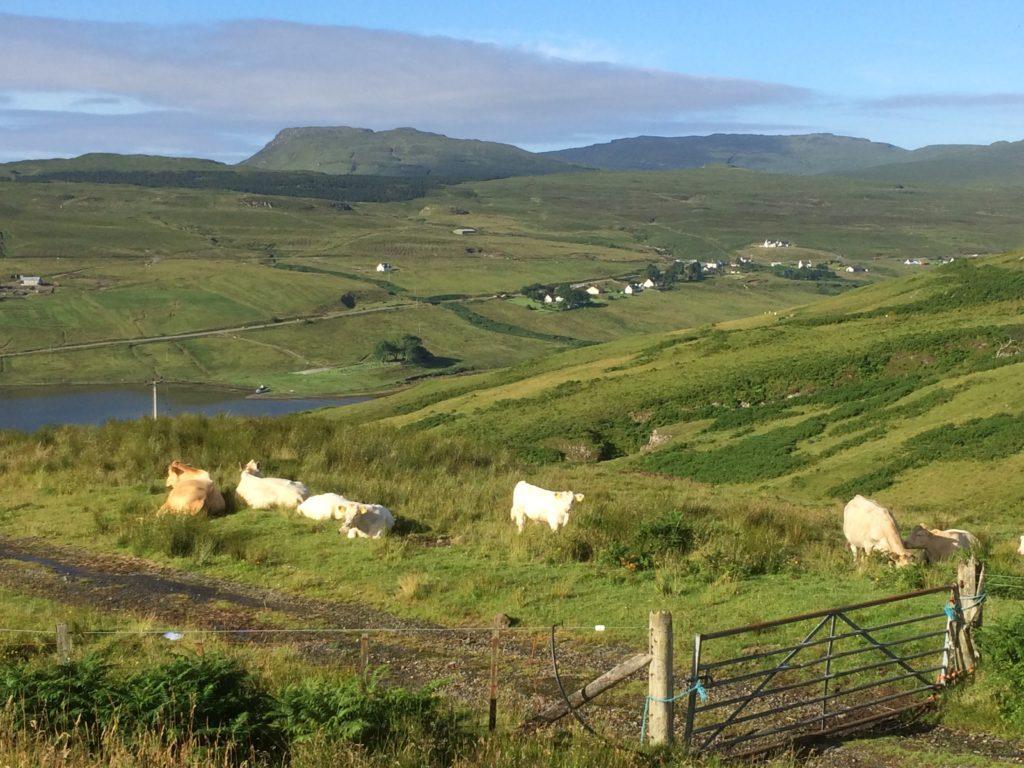Cattle on the Isle of Skye